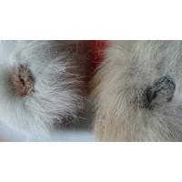 Влагалище (Гениталии вагина половой орган) Волчицы, свежемороженая . г.в 3